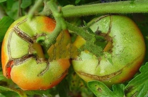 The Truth of Tomato Cracking in Autumn.jpg?v=110631
